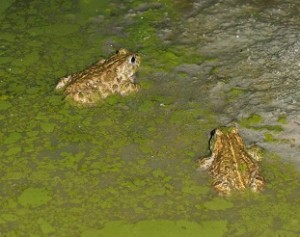 18-05_Kreuzkröten Ausschnitt