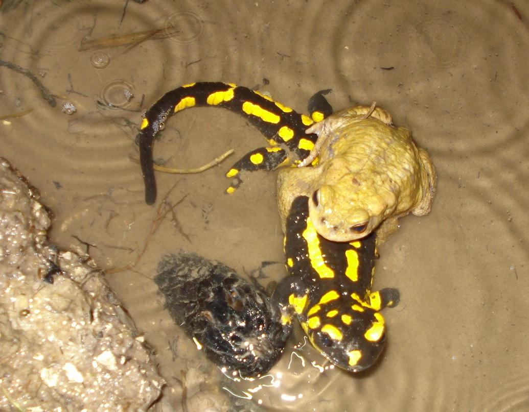 Erdkröte klammert Feuersalamander