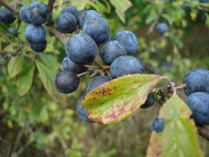 Prunus spinosa_15-09_2
