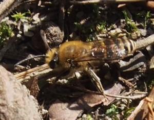 Wildbiene vom Lichten Wald